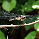 Yellow Sided Skimmer (female)