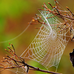 by Shrikrishna Bhat - Nature Up Close Webs ( web, spiderweb,  )