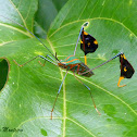 Percevejo do maracujazeiro (Passion fruits leaf-footed bug)