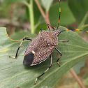 Common Gum Tree Shield Bug