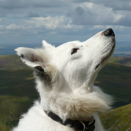 Fen at the cheviots by Paul Muir - Animals - Dogs Portraits ( hills, collie, white, fen, cheviots, border )