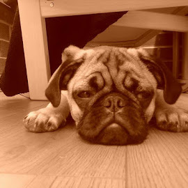 A tired little Pug. by Callum Harrison - Animals - Dogs Puppies ( puppies, dogs, tired, pugs, cute )