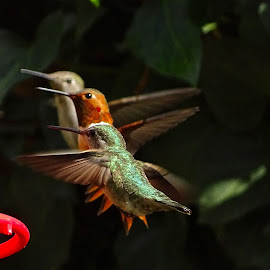 Synchronized Hummers by Marilyn Bernstein - Animals Birds ( bird, hummingbird, bird photos, bird photography, humming bird, hummer )