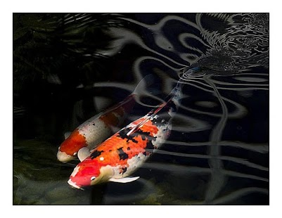 japanese koi fish wallpaper apk