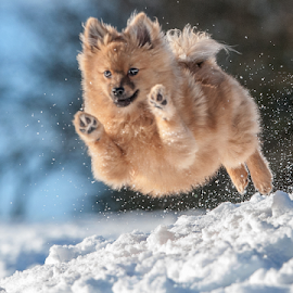 yahoo/ hugo scottish highlands  by Michael  M Sweeney - Animals - Dogs Running ( nikon, run, dog, running, photography, pomeranian )