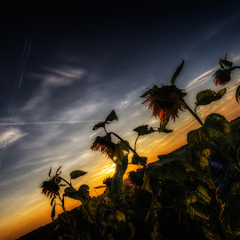 quietly by Marcel Quoos - Nature Up Close Gardens & Produce ( sky, sunset, power, flower, sun )