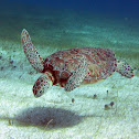 Green Sea Tourtle