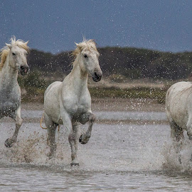 Speed up in the storm by Federico Lenzi - Animals Horses ( tempesta, cavalli, freedom, horses, camargue, libertà, storm )
