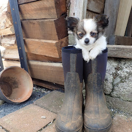 Baby Chihuahua by Esther Van De Belt - Animals - Dogs Puppies ( farm, puppy, chihuahua, posing, portrait, boots )