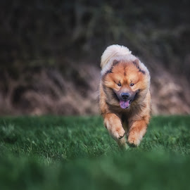 Baiko running by Joern Fellenberg - Animals - Dogs Running ( eurasier, dog, running )