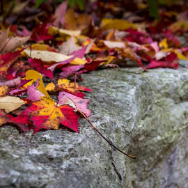 Blazing Fall Colours by Rob Taylor - Nature Up Close Leaves & Grasses ( orange, red, autumn, fall, leaves, colours, color, colorful, nature )