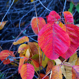 Leaves changing color. by Brandi Crows Heart - Nature Up Close Leaves & Grasses ( twigs, autumn, red leaves, fall, leaves,  )