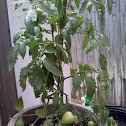 tomato (Bush Early Girl)