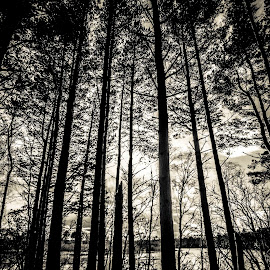 In the Shadows. by Stewart Winton - Landscapes Forests ( silhouette, trees, sunlight, woods, shadows,  )