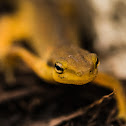 Eastern Red Spotted Newt