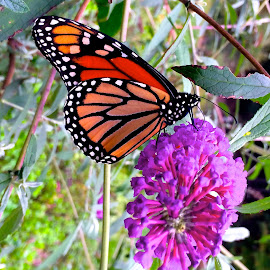 Monarch with iPhone5 by Tyrell Heaton - Instagram & Mobile iPhone ( monarch with iphone5 )