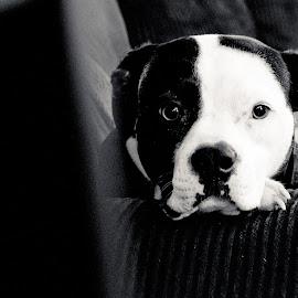 Hera 1 by David Leer - Animals - Dogs Portraits ( hera, female, 2014, boxer )
