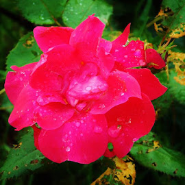 Rainy day flower by Bradley Mclaughlin - Novices Only Flowers & Plants ( water drops, red flower, nature, rain, flower )