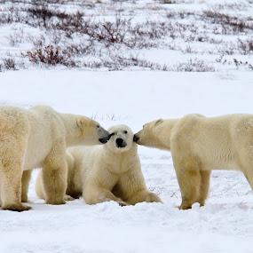 Best Friends  7323  by Karen Celella - Uncategorized All Uncategorized ( friends, winter, snow, white, landscape, polar bear, cold )
