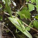 Great green bush-cricket
