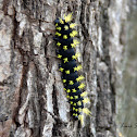 Saturnid Moth caterpillar
