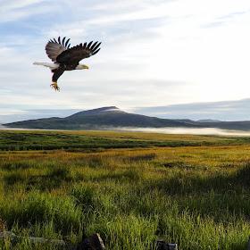 Alaska Eagle.jpg