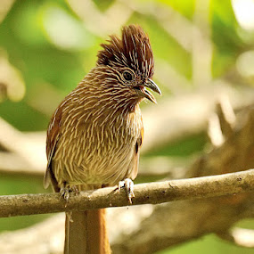STRIATED LAUGHING THRUSH by Sathya Vagale - Animals Birds