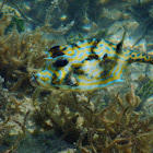 Scrawled cowfish
