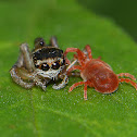 Jumping Spider and Velvet mites