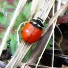 Three banded Lady bug