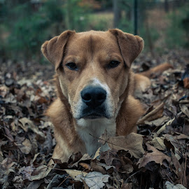 Leave me alone by Dan Miller - Animals - Dogs Portraits ( autumn, fall, leaves, dog, portrait )
