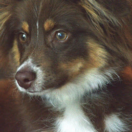 Tate by Renee Morrison - Animals - Dogs Portraits ( brown and white, australian shepherd, dog )