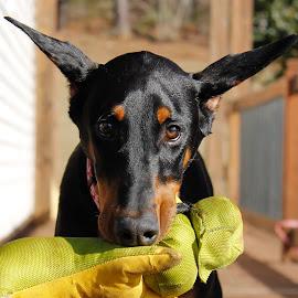 Mia by Debra Martins - Animals - Dogs Portraits ( wildife, dog, doberman, portrait, animal )