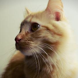 Meow by Brittany Westveer - Animals - Cats Kittens ( orange, cat, kitten, portrait, profile )