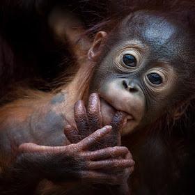 Orang-Utan - Pongo - Primat - Menschenaffe 1902.jpg