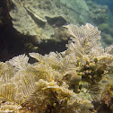 Stinging Hydroid