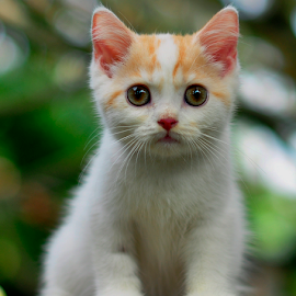 by Cacang Effendi - Animals - Cats Kittens ( cats, cattery, kitten, chandra, animal )