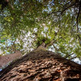 Giant Kauri  by Richard Kam - Nature Up Close Trees & Bushes ( trees, forest, kauri, new zealand, giant )