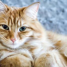 It's a hard life..... by Borislav Milanov - Animals - Cats Portraits