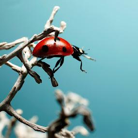 Ladybug climbing by Christian Bro - Animals Insects & Spiders ( climbing, macro, bug, ladybug, insect,  )