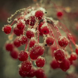 Frozen Crab Apples by Mike Martin - Nature Up Close Trees & Bushes ( winter, tree, ice, snow, crab apple, frozen, bokeh, berries )