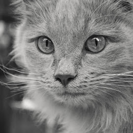 Focus by Silke Jordaan - Animals - Cats Portraits ( cat, black and white, furry, dark, feline, kitty )