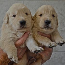 by Deena Zeidler - Animals - Dogs Puppies