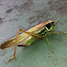 Roesel's bush-cricket (long-winged form)