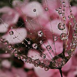 Beauty Keeps Us Together by Marija Jilek - Nature Up Close Natural Waterdrops ( water, a seed, nature, goat-beard, drops, other plants, plants, natural waterdrops )