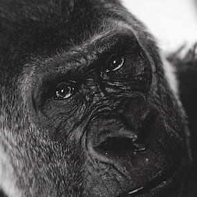 In The Eyes Of An Ape by Leigh Frudiger-Vanderland - Animals Other Mammals