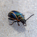 Striped beetle