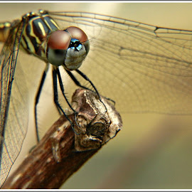 Dragonfly Spy by Kathy Hancock - Animals Insects & Spiders ( macro, dark background, insect, dragonfly, animal )