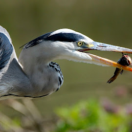 Airone Vs Pesce by Roberto Gandolfi - Animals Birds ( nikon d750, pesce, airone, fish, airone cenerino, heron grey, fishing,  )