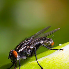 Green Fly by Fisca Octavina - Novices Only Macro ( fisca photowork )